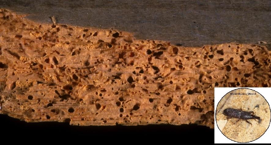mối mọt trong gỗ tự nhiên